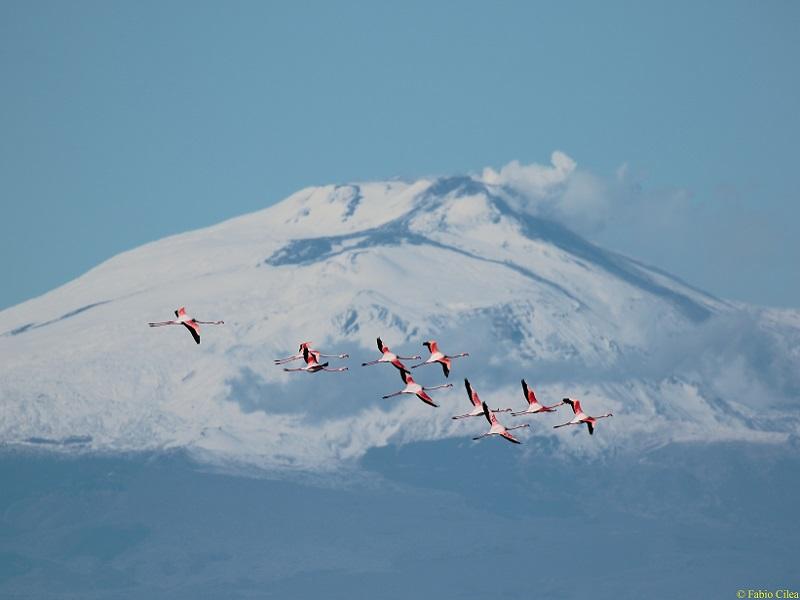 Fenicotteri ed Etna